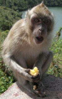 Indická opice
