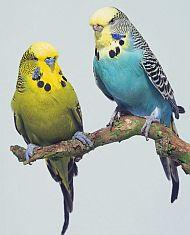 Papoušek vlnkovaný