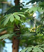 Keřík manioku dorůstá výšky až 5 metrů