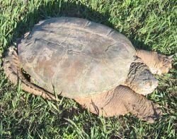 Kolik je této želvě?
