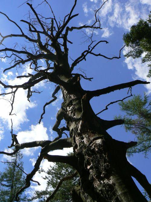 Strom nedaleko vrcholu