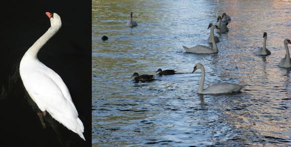 Plavidlo doprovázejí všudypřítomné labutě a kachny