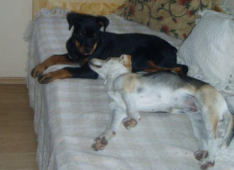 Gelnar dogs