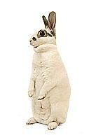 králík