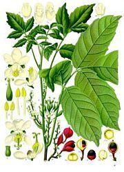 Guarana - Paullinia cupana, česky paulinie nápojná