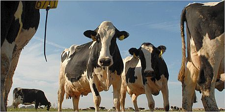 ...a ta kráva mléko dává!