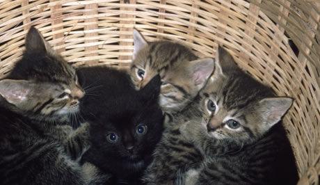 tanzanská černá kočička