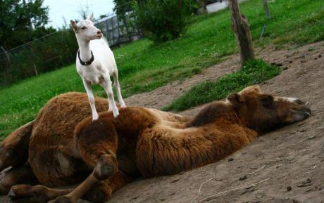 velbloud