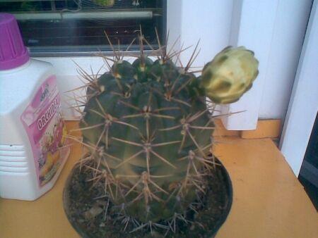 kaktus 2