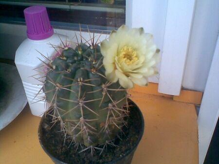 kaktus 5