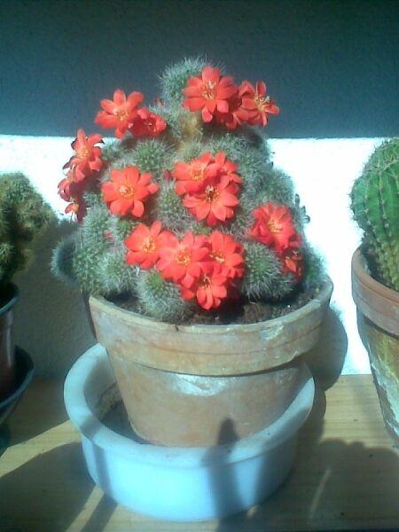 kaktus 7