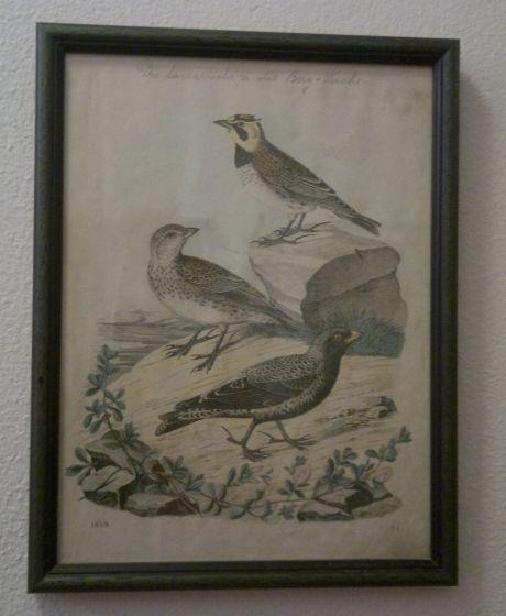 ptáci, barevná litografie