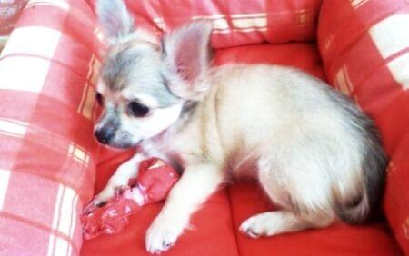 lili štěně