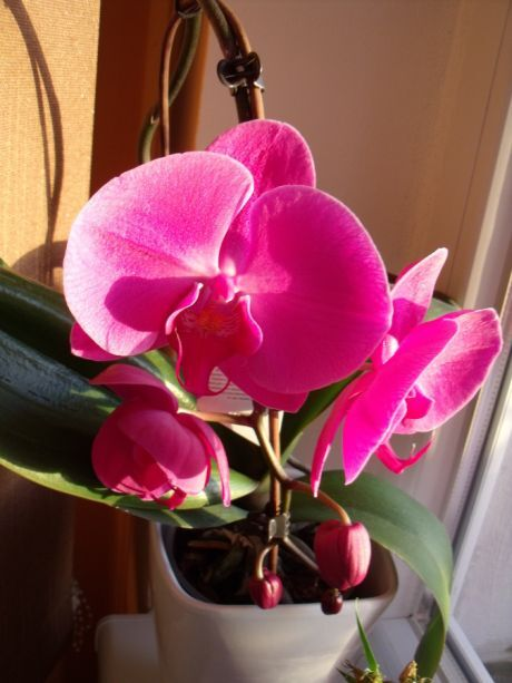 orchidka