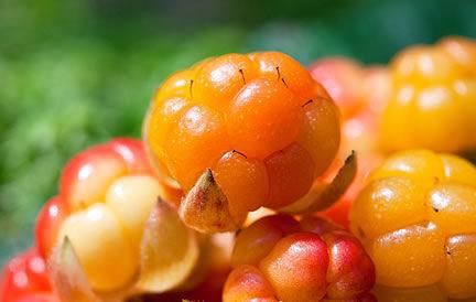 Nordic berry