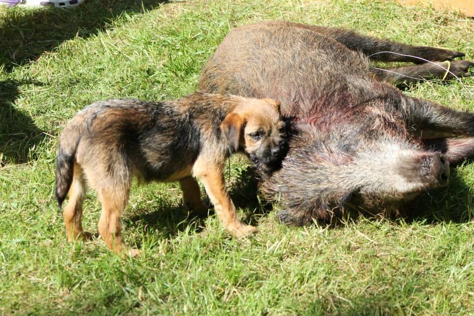 Práce loveckého psa