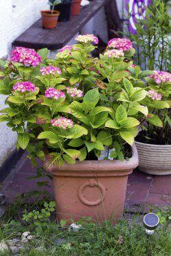 Hnojení hortenzií