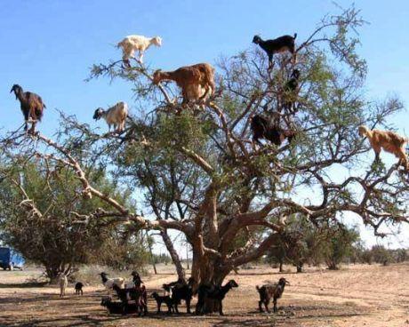 jak honit mezi kozy