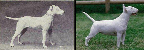 Bulterier dříve a dnes