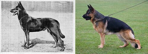Německý ovčák dříve a dnes
