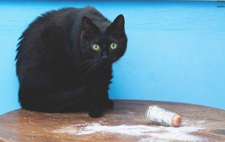 Další hvězdou internetu je kočka Venus, která se stala opravdovou kočičí celebritou.