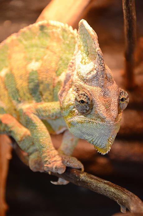 Chameleon jemenský, Zoo Děčín