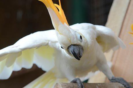 Kakadu žlutolící sumbský, Zoo Děčín