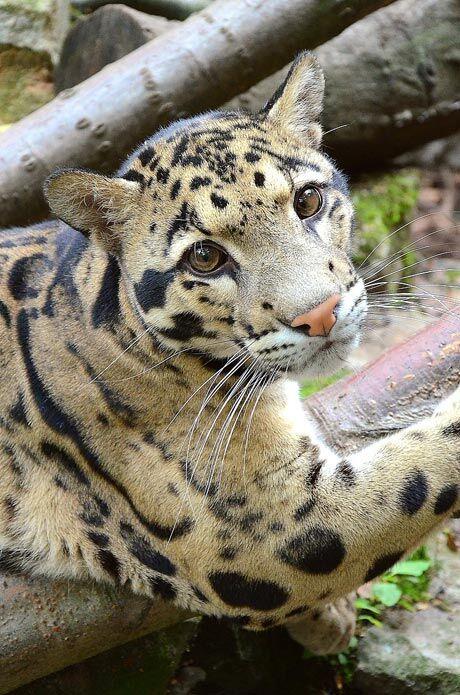 Levhart obláčkový, Zoo Děčín