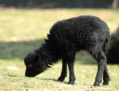 Ovce ouessantsk�