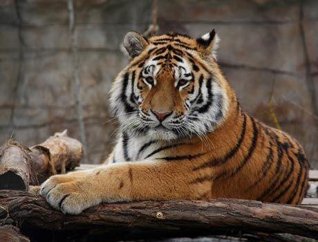Tygr ussurijsk�