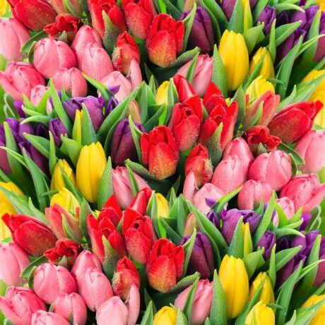 tulipanky