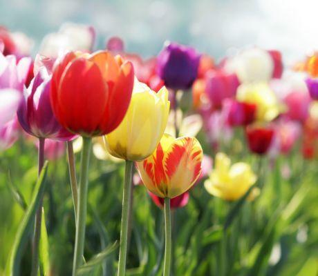 tulip�ny