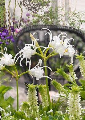 pavouci lilie