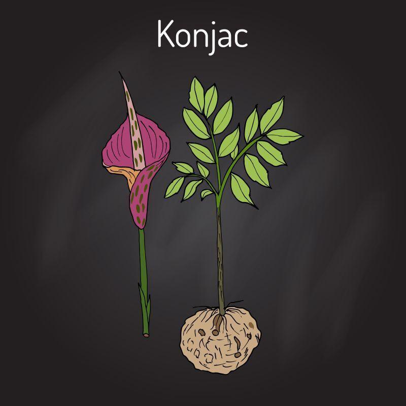 konjac rostlina