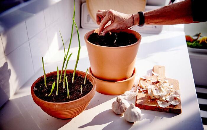 Česnek, který již začal rašit, zasaďte do země výhonkem nahoru.
