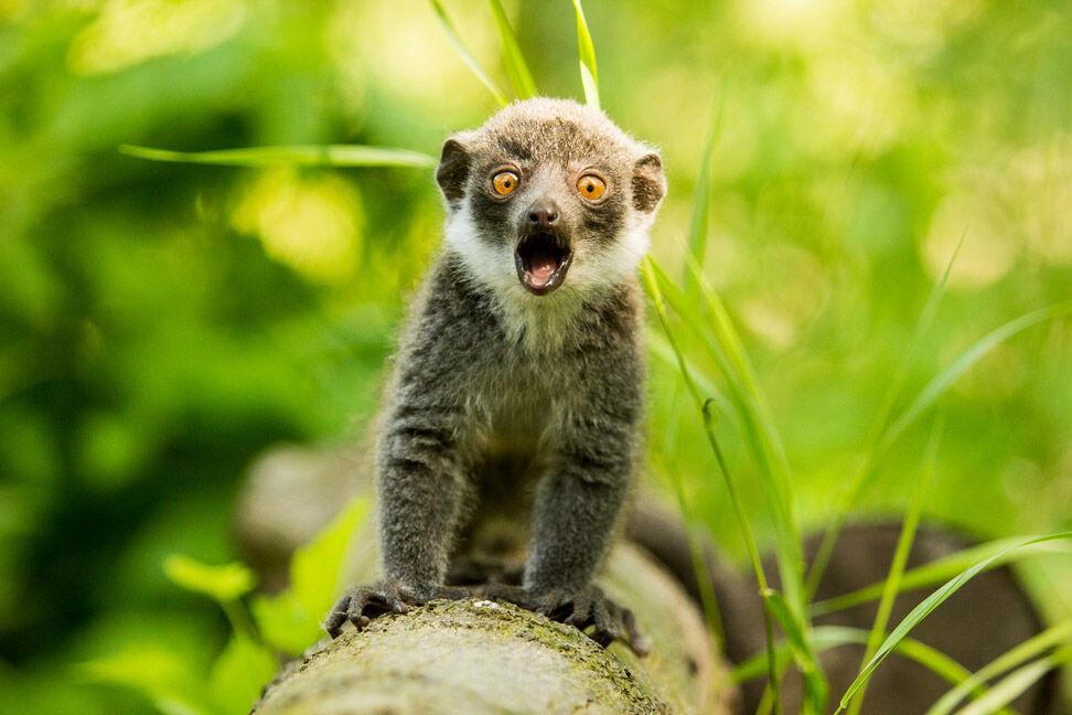 Lemur v zoo Ostrava, foto: P. Vlček