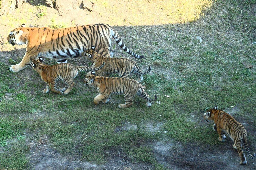 Letošní chloubou hodonínské zoo jsou malí tygříci. Přijeďte se i vy podívat na malá koťátka vzácné šelmy!