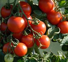 Pěstování cherry rajčat na balkoně