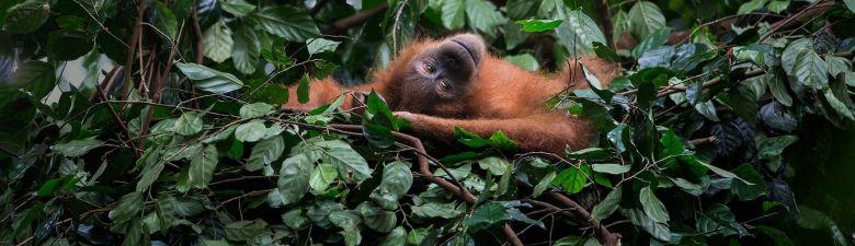 orangutan-velky.jpg