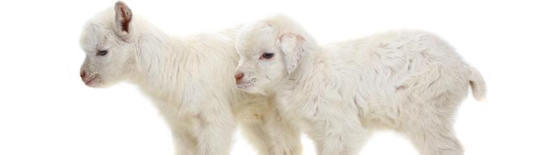 goat-velka.jpg