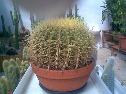 kaktus1