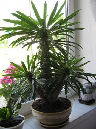 Madagaskarska_palma